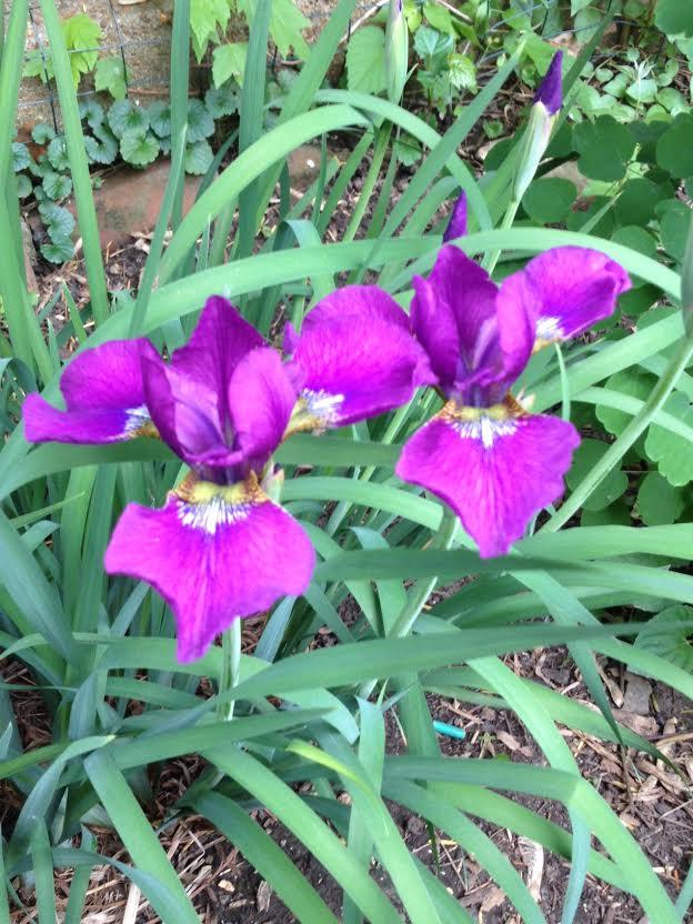 violetiris